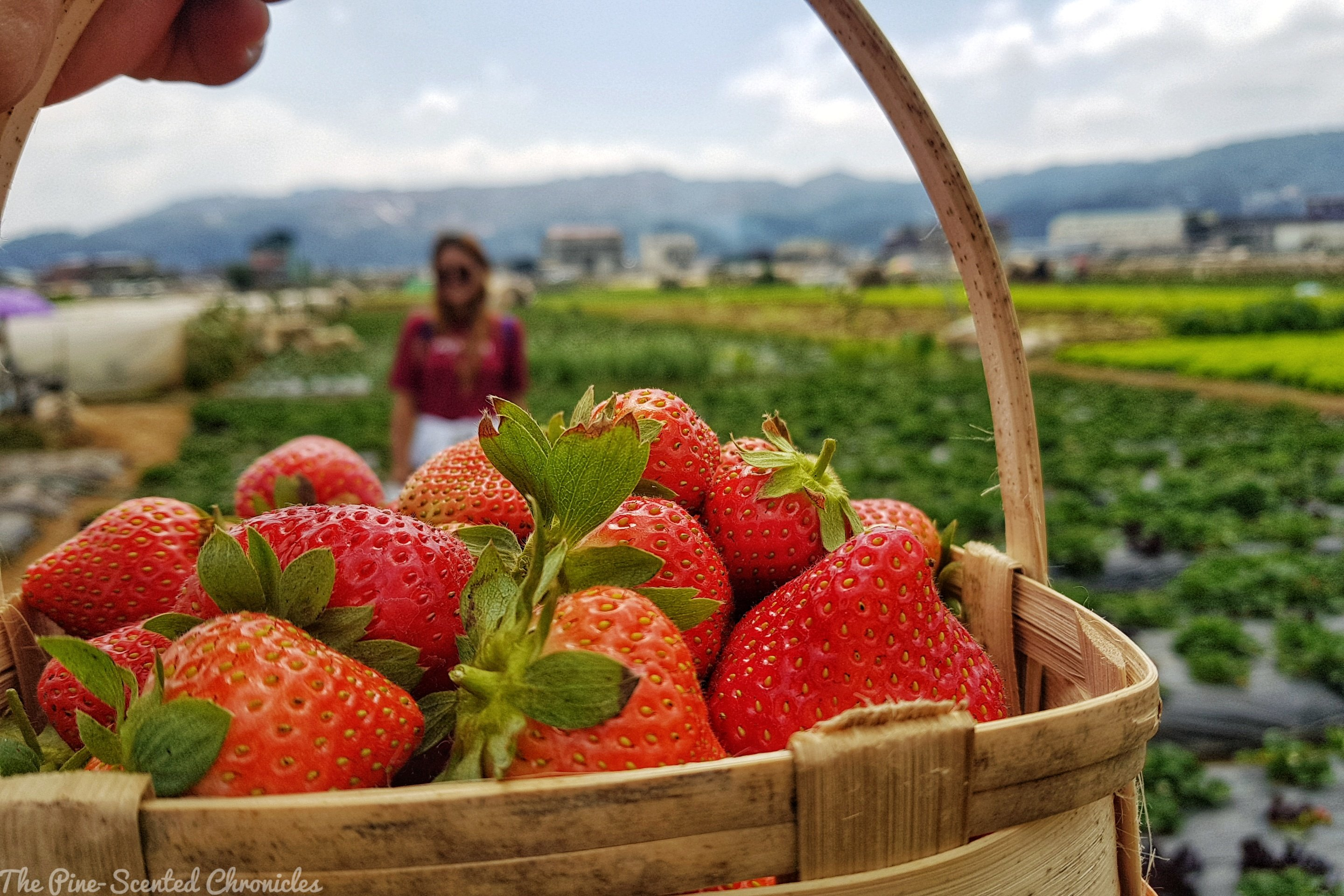 Into the Strawberry Fields of La Trinidad – The Pine-Scented Chronicles